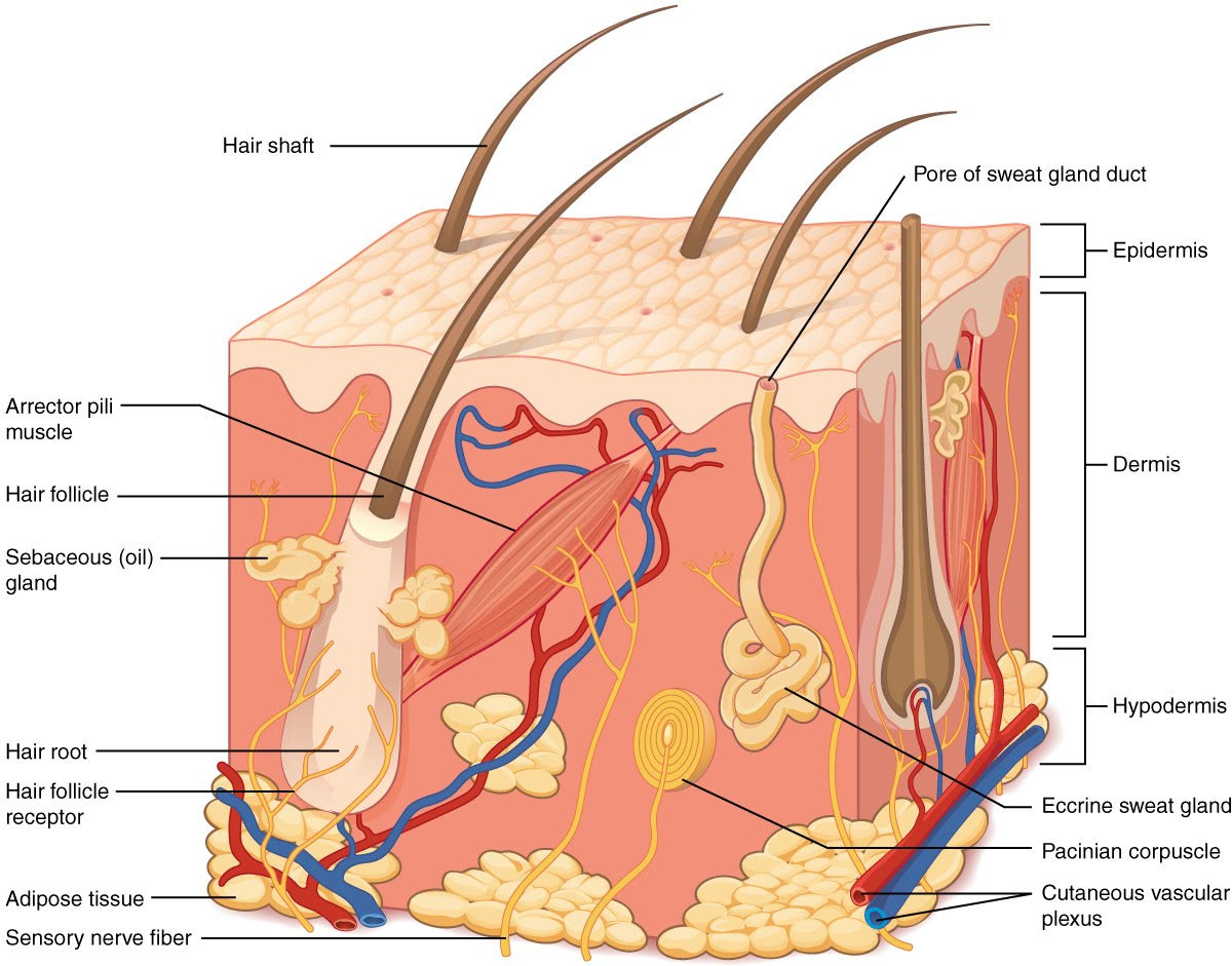 501_Structure_of_the_skin.jpg